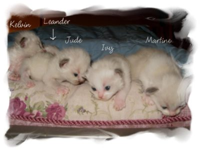 Kittens First Few Weeks – Regency Ragdolls