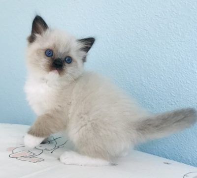 Available Ragdoll Kittens – Regency Ragdolls